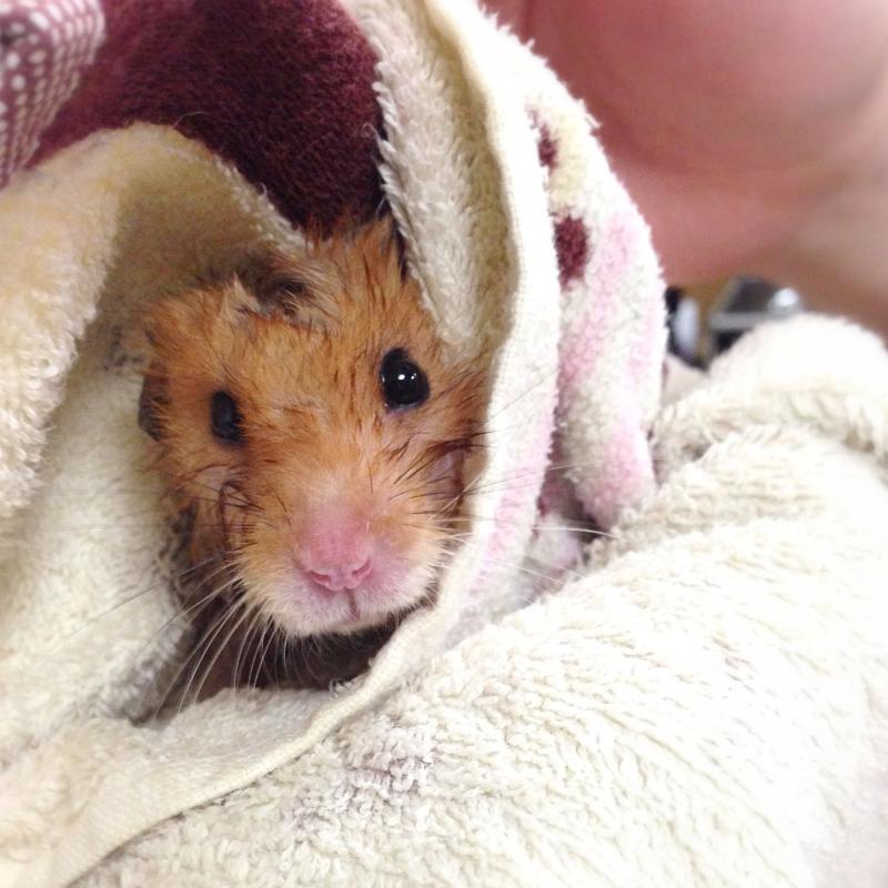 ハムスター ぼたんさんの入浴