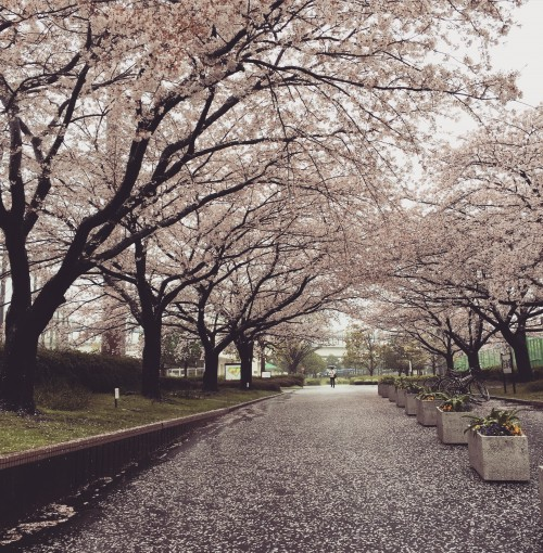 雨、桜降る。